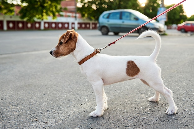 Владелец выгуливает свою собаку джек рассел терьер снаружи