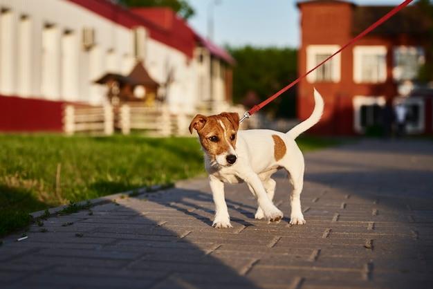 외부 그녀의 잭 러셀 테리어 개를 산책하는 소유자
