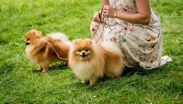 공원에서 두 포메라니안 강아지와 함께 산책하는 소유자.