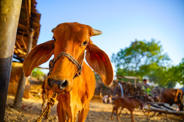 Ox in agriculture field, indian rural life