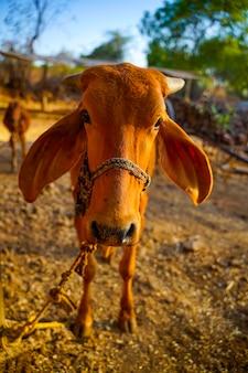農業分野における牛、インドの農村生活