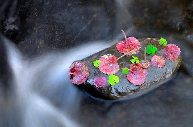 Oxalisacetosellaとsaxifragahirsutaが川の岩の上に葉を残す