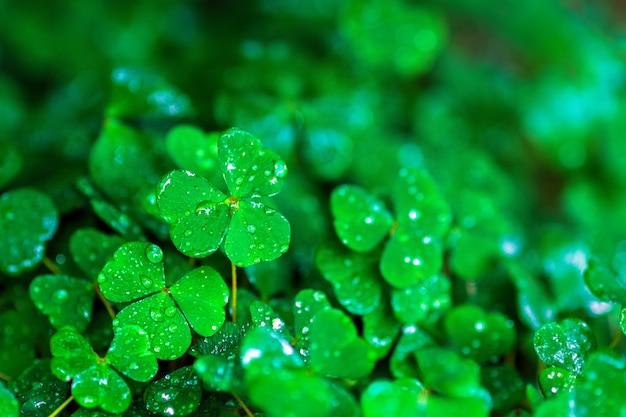 Oxalis acetosella (아일랜드 토끼풀, 나무 밤색 또는 일반 나무 밤색) 비 또는 아침 이슬 방울에 젖음