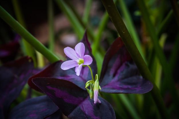 Oxalis triangularis、一般にfalse shamrock flowerと呼ばれる