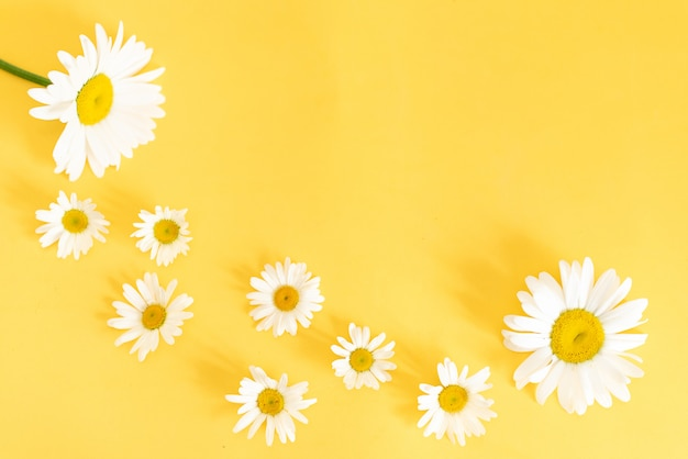 Oxeye daisies with a copy space on an orange background