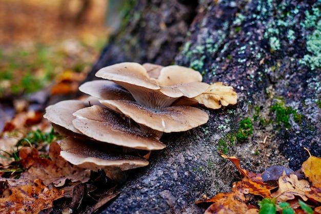 가을 나무에 굴 버섯