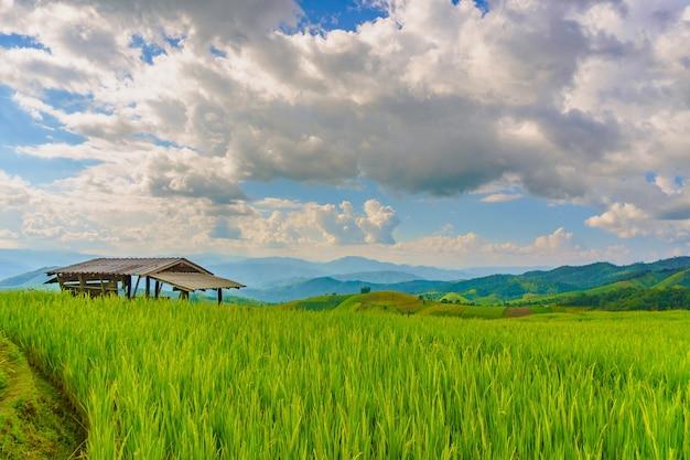 Pa bong piang rice paddy field in chiang mai thailand