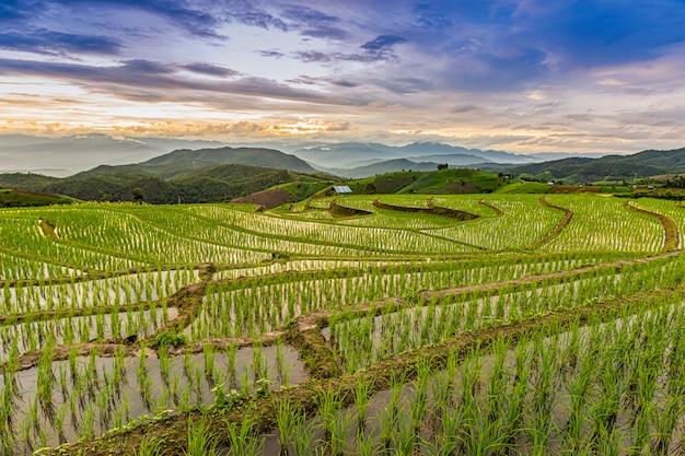 Pa bong piang rice terraces in the rainy season, chaingmai, thailand,