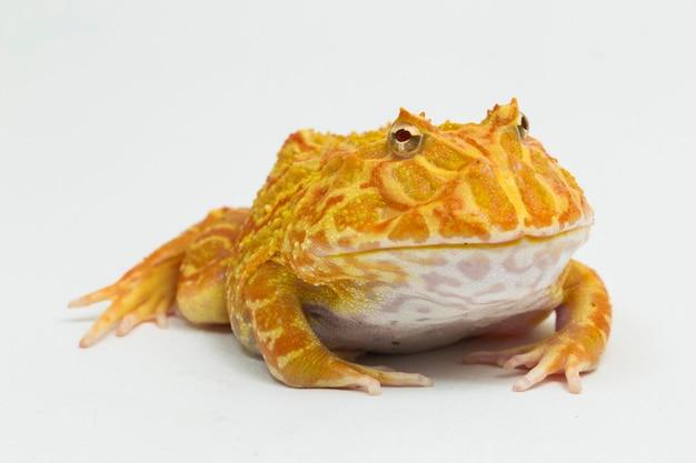 Pac man лягушка альбинос клубника, изолированные на белом фоне