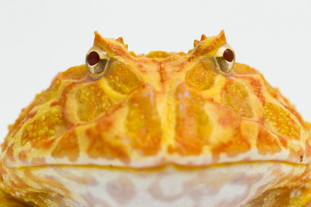 Pac man frog albino strawberry  isolated on white background
