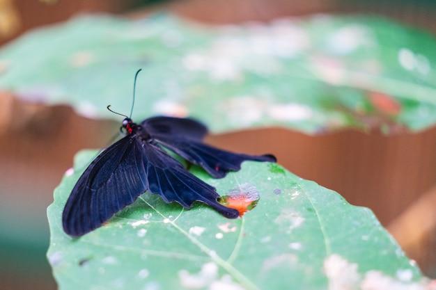 ピンクのバラ蝶pachliopta kotzebuea