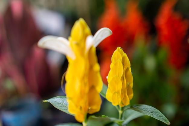 一般名ロリポップ植物とゴールデンシュリンプ植物で知られているパキスタキスルテア