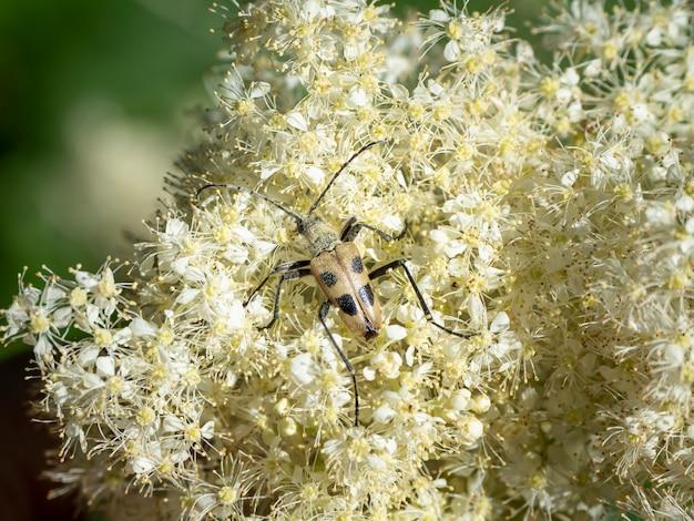 Pachyta quadrimaculata-自然の中のカブトムシ