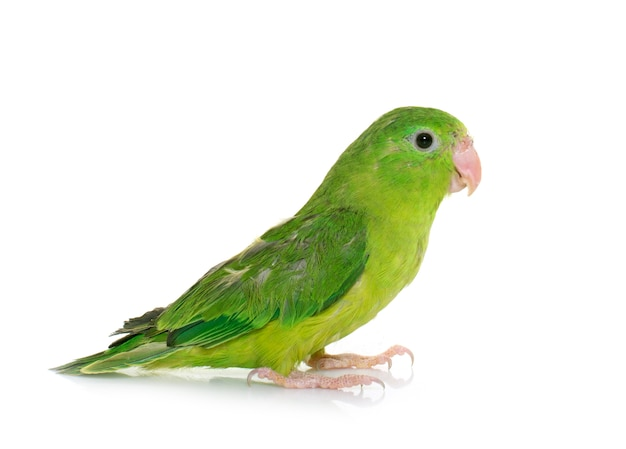 Pacific parrotlet isolated