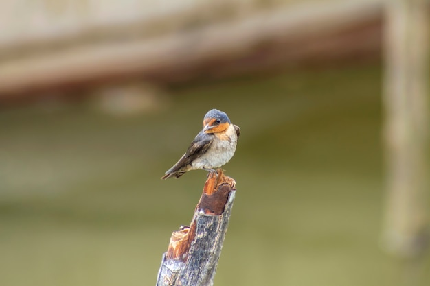 Pacific swallow (hirundo tahitica) on branch