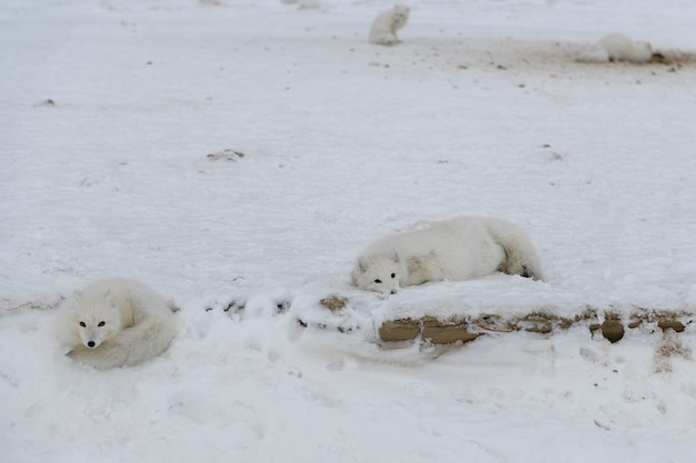 Pack of arctic foxes (vulpes lagopus) in wilde tundra.