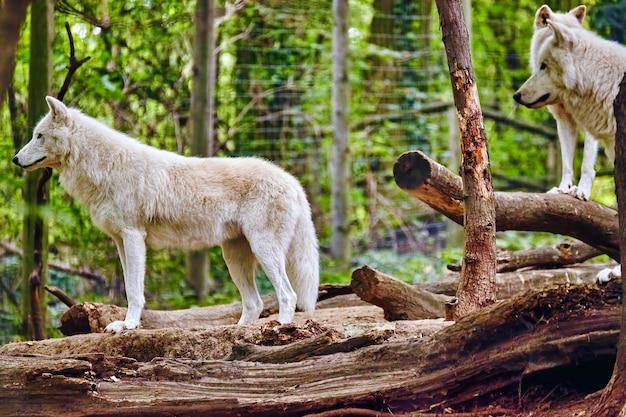 Стая серых волков (canis lupus) в естественной среде обитания.