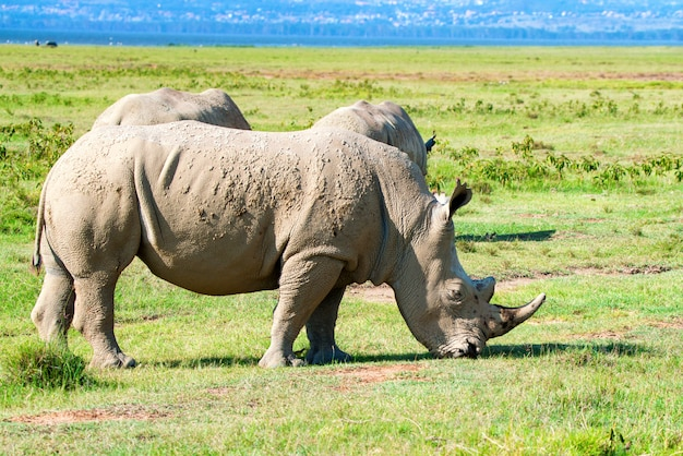 Pack of white rhinos