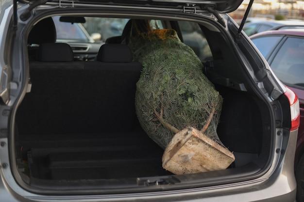 자동차 트렁크에 포장된 크리스마스 트리