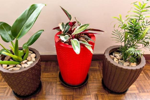 Pacovãƒâ¡、マランタとアレカヤシの屋内植物。