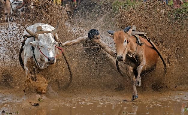 Фестиваль pacu jawi (традиционная гонка на быках) в регенте танах датар, западная суматра, индонезия