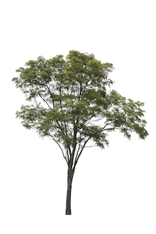 白のビルマpadaukツリー