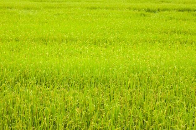 Paddy field rice background in sunshine grass farm in ayutthaya thailand