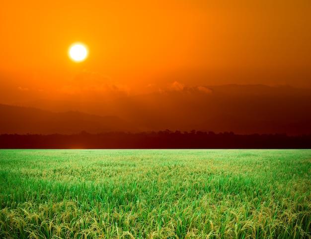 Paddy field, rice farm in thailand