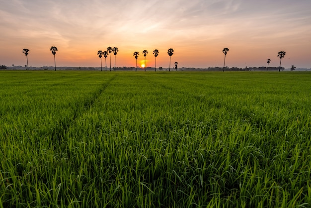 Paddy field with palm trees and sunrise at phatthalung province, thailand