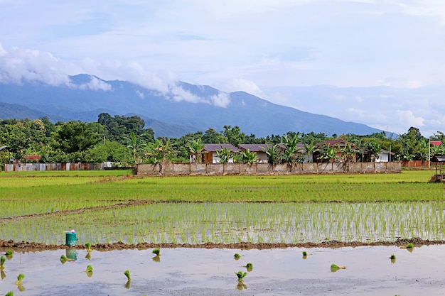 Paddy fields during the process of transplanting rice plants, northern region of thailand