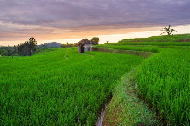 Paddy fields with green color in sunset moment