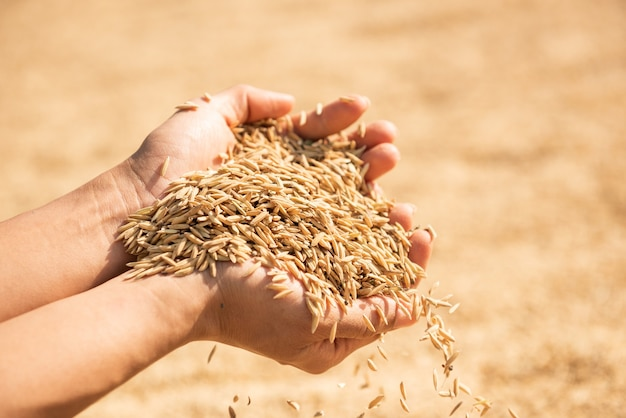 수확에 벼, 손에 황금 노란 벼, 손에 벼를 들고 농부, 쌀.
