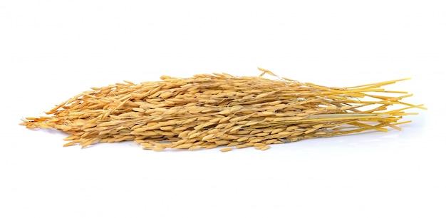 Paddy jasmine rice on white space