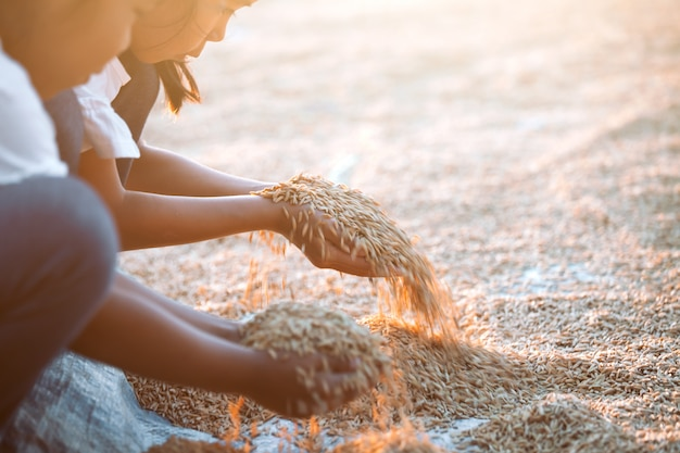 Paddy rice in child hand in the rice harvest field