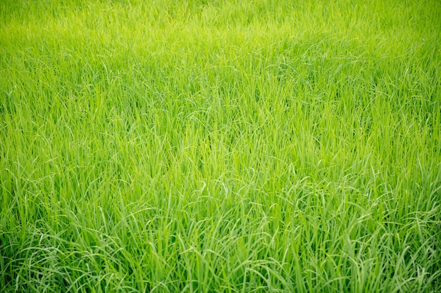 Paddy rice field in clear light day