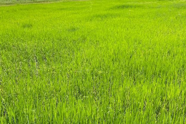 Поле неочищенного риса в сезон дождей. смартфон выстрел.