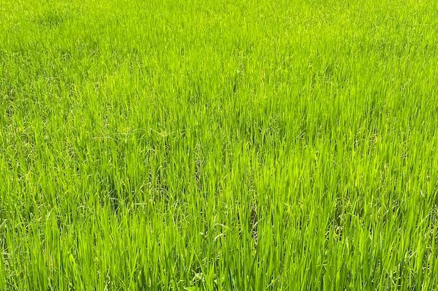Paddy rice field in rainy season. smartphone shot.
