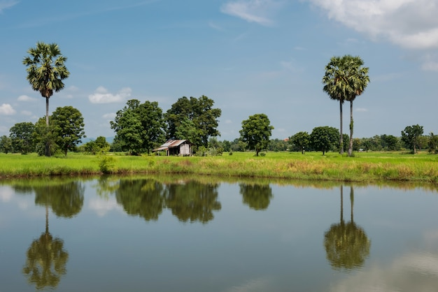 Paddy rice fields and farmer hut near pond