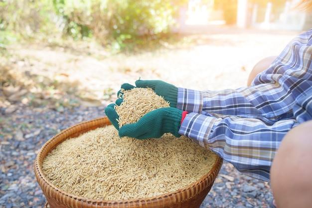 농부 여자 손에 필드에서 패 디 라이스.