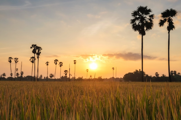 태국 빠툼타니의 동탄 삼 콕에서 일출 시 논 벼와 야자수. 따뜻한 나라의 농업 식품 산업. 경치 좋은 여행지를 위한 아름다운 랜드마크.