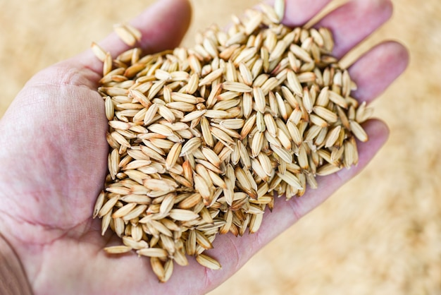 Paddy rice in hand farmer, dry seed rice organic paddy agricultural products