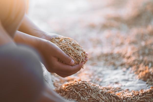쌀 수확 분야에서 아이 손에 패 디 라이스