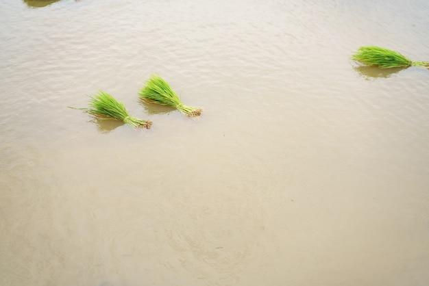 Paddy rice seedling