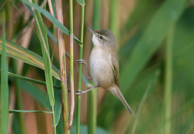 The paddyfield warbler (acrocephalus agricola) sits on a reed in soft morning light against a blurred background. easy identification