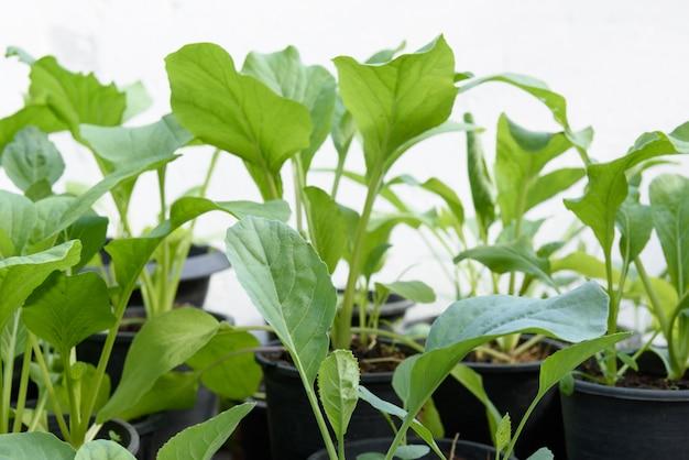 Домашнее растение китайская капуста и китайская капуста-pai tsai или brassica chinensis jusl var parachinensis (bailey) на горшке