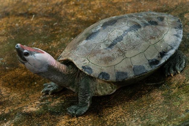 Painted batagur terrapin : callagur borneoensis