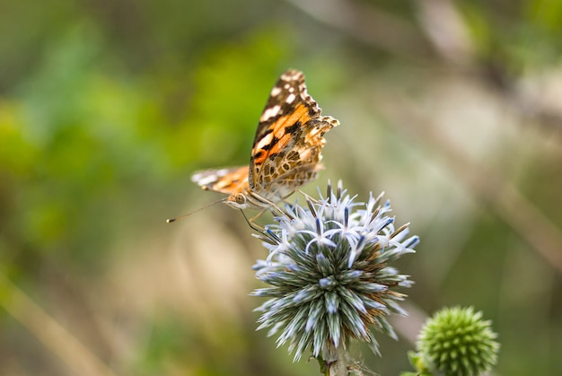 Painted lady butterfly on blooming echinops, green background