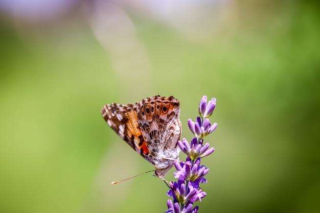 Нарисованная леди бабочка на цветке
