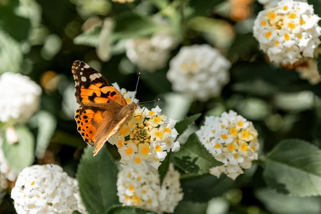 Painted lady (vanessa cardui) butterfly on blooming bush close up