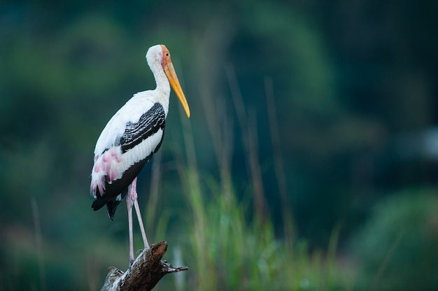 Painted stork feeding on nature.